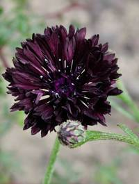 Centaurea-black-ball