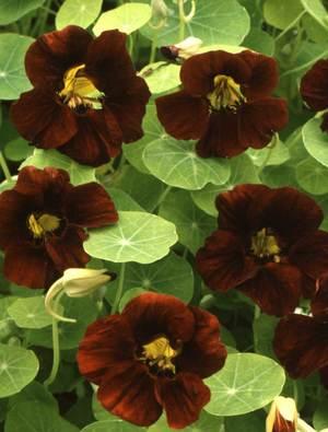Nasturtium majus 'Black Velvet'