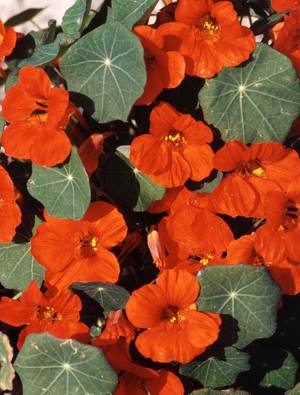 Nasturtium majus 'Empress of India'