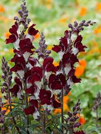 Antirrhinum majus 'Night and Day'