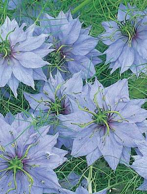 Nigella damascena 'Miss Jeykll'