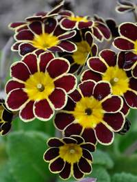 Primula-gold-lace