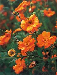 Geum-dolly-north