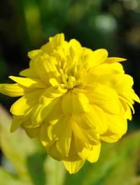 Rudbeckia-goldquelle