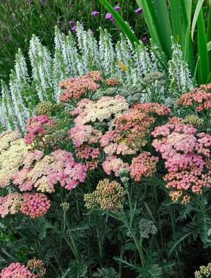 Achillea millefolium 'Peachy Seduction'