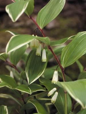 Polygonatum falcatum 'Variegatum'