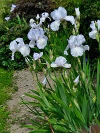 Iris-english-cottage6