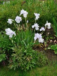 Iris-english-cottage4