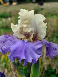 Iris 'Recurring Delight'