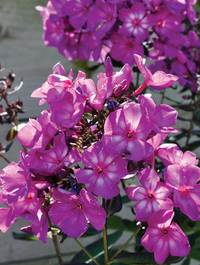 Phlox-sweet-summer-surprise