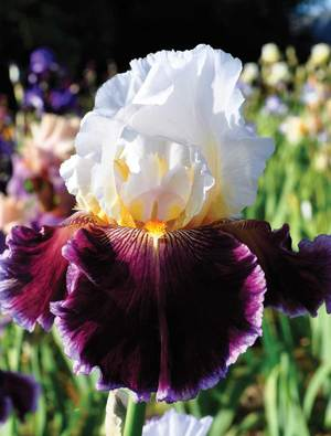 Iris 'Care To Dance'