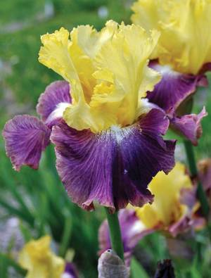 Iris 'Country Charm'