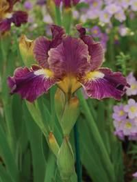 Iris 'Blackcurrant'