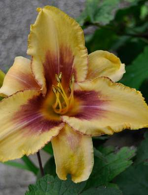 Hemerocallis 'Persian Melon Plus'