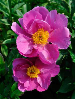 Peony 'Color Magnet'