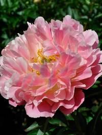Peony-pink-hawiaian-coral1
