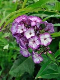 Phlox paniculata 'Sweet Summer Fantasy'