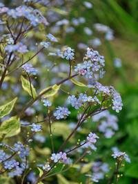 Brunnera-hadspens-cream14