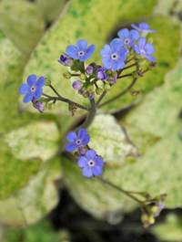 Brunnera macrophylla 'Spring Yellow'