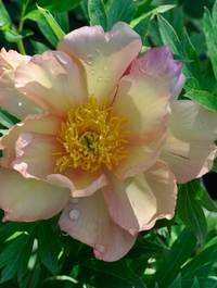 Peony_singing_in_the_rain