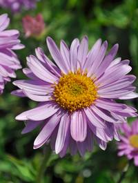 Aster-happy-end