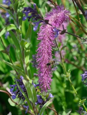 Sanguisorba hakusanensis 'Lilac Squirrel'