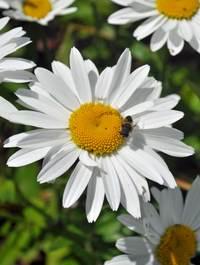 Leucanthemum-snowcap