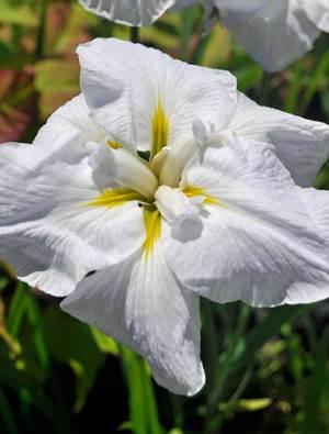 Iris 'White Ladies'