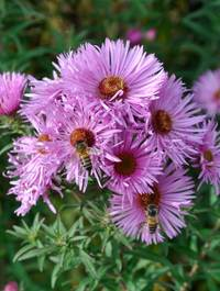 Aster-miss-k-e-mash5-with-bees1