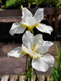 Iris 'White Swirl'
