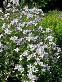 Campanula-lactiflora-alba5