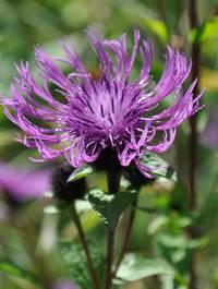 Centaurea-caramia