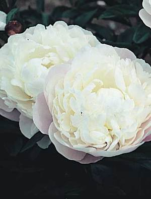 Peony 'Blush Queen'
