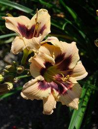 Hemerocallis-nefertiti2