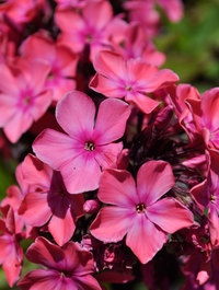 Phlox-orange-perfection5