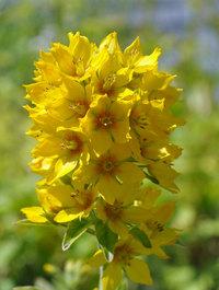 Lysimachia-punctata