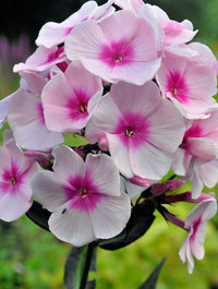 Phlox-bright-eyes1
