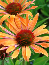 Echinacea-orange-passion2