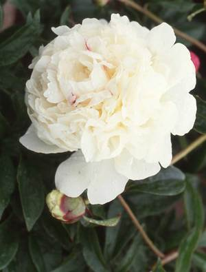 Peony 'Couronne d'or'