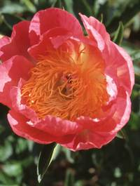 Peony 'Coral 'n Gold'