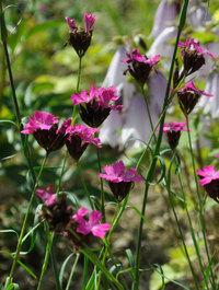 Dianthus-carthusianorum1