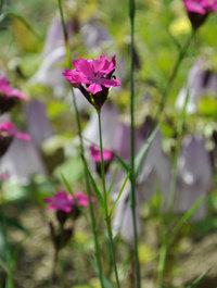 Dianthus-carthusianorum2