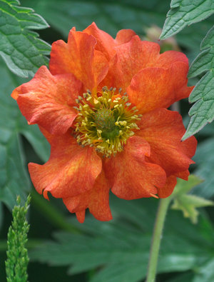 Geum 'Dolly North'