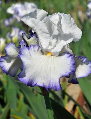 Iris 'Queen's Circle'