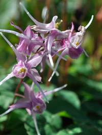 Epimedium grandiflorum 'Purple Pixie'