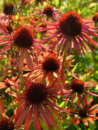 Echinacea-orange-passion8