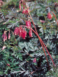 Dicentra-stuart-booth