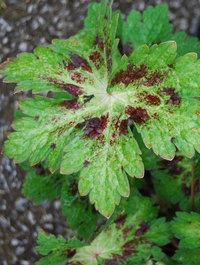 Geranium-phaeum-spring-time1