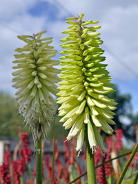 Kniphofia-ice-queen1
