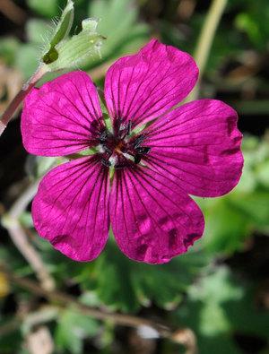 Geranium cinereum 'Jolly Jewel Red'